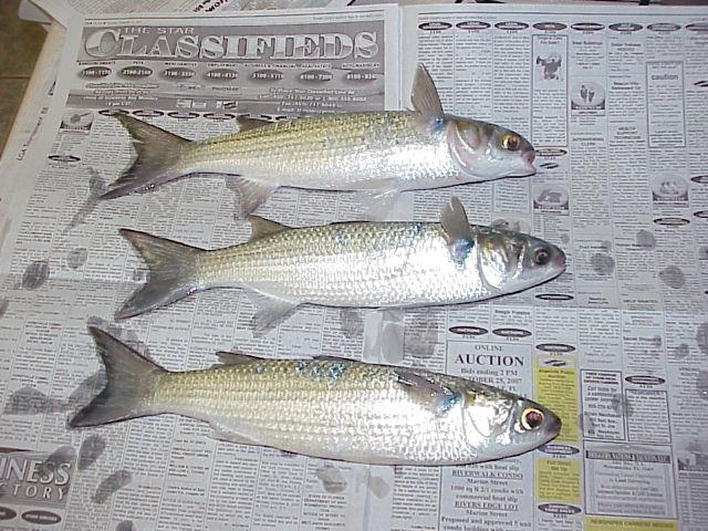 Aqua essence striped mullet for Mullet fish florida